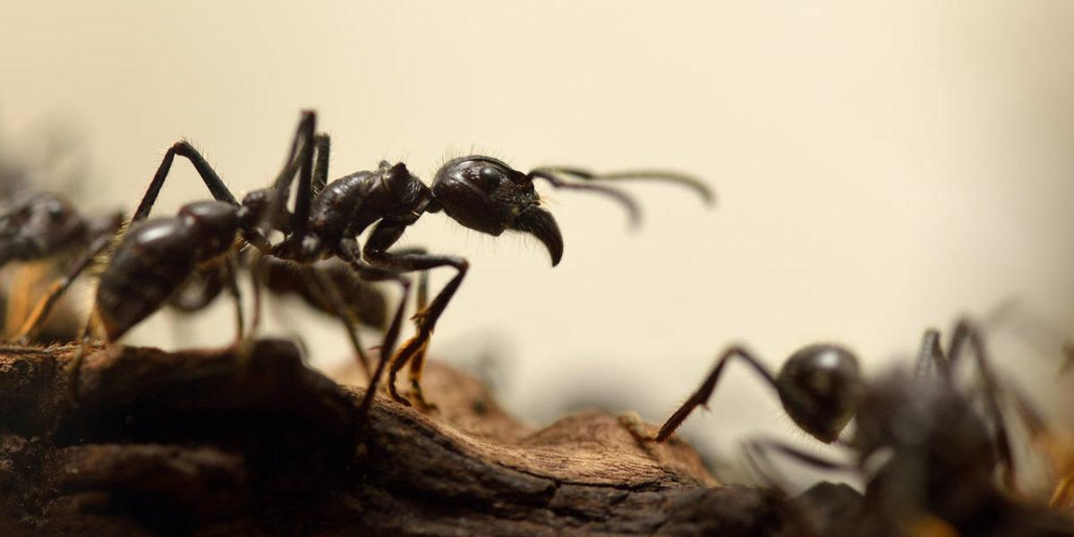 comment se d barrasser des fourmis rapidement et facilement. Black Bedroom Furniture Sets. Home Design Ideas